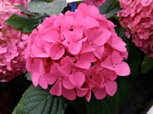hydrangea  seeds flower tree seeds free shipping ,other colors  hydra