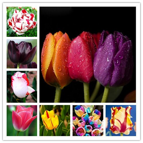 tulip bubls(not tulip seed) flowers beautiful 24 varieties can pick pc