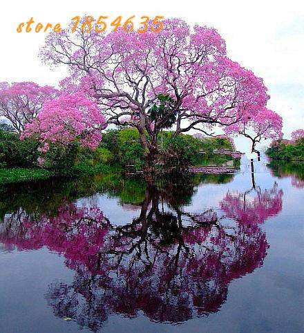 Paulownia Seeds (princess Tree Or Empress Tree)--impressive And Add Be