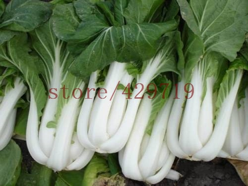 cabbage  Pak Choi  NON GMO Brassica Pekinensis Plants Vegetable Seeds