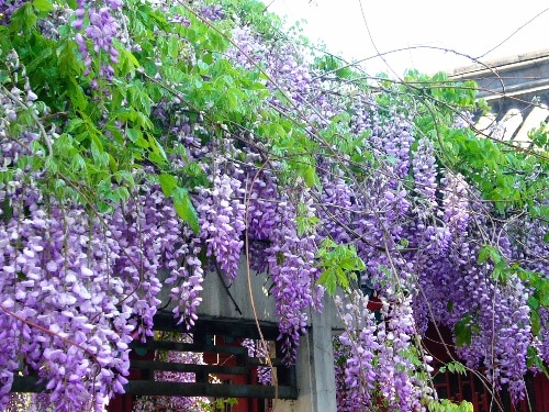 Purple Wisteria Flower Seeds rare tree seeds  for DIY home garden PLA