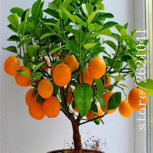 Orange Tree Seeds DWARF WASHINGTON NAVEL Grow Indoors in bonsai or Out