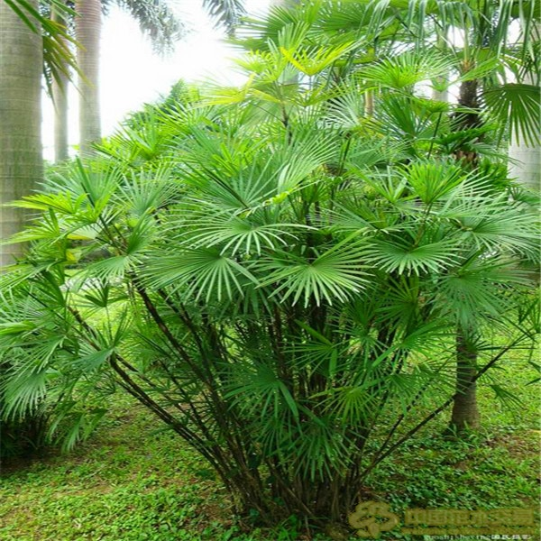 Palm bamboo Seeds Home Gardening Wholesale 30pcs/lot garden  seeds U0