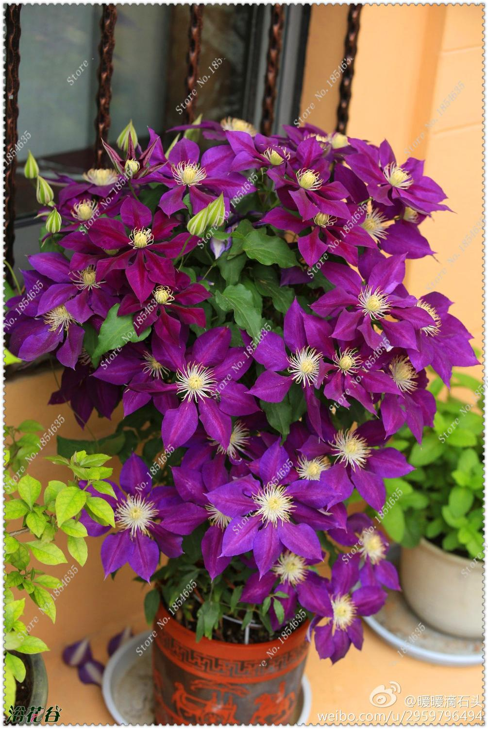 Clematis Seeds Potted Balcony Clematis,bonsai flower seeds for home ga