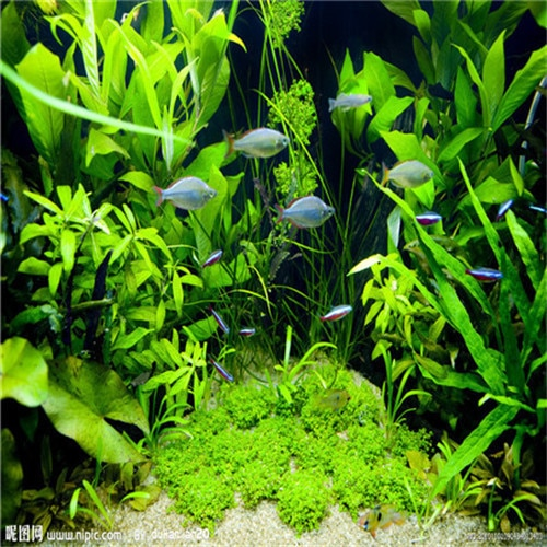 500pcs / bag moss water aquatic plant seeds, family easy plant seeds,