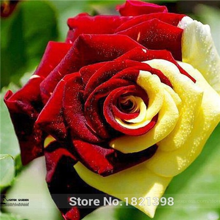 100 Seeds / Pack, Rare Amazingly Beautiful Red Yellow Rose Flower See