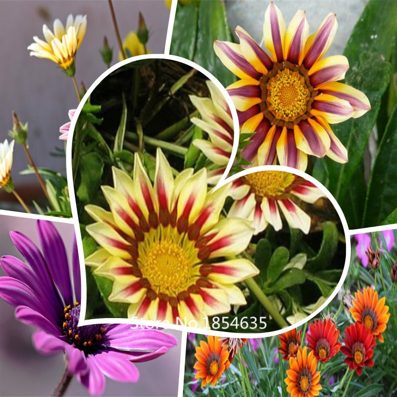 monoflord pan american gazania red stripe - 200seeds Bonsai Seed