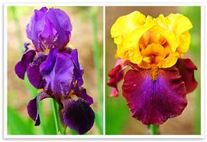 sale in 2017. 20 irises seeds,elegant flower, make your garden more be