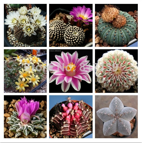 Ball Cactus,Ball Cactus seeds, Foliage plant seeds, about 20 particles