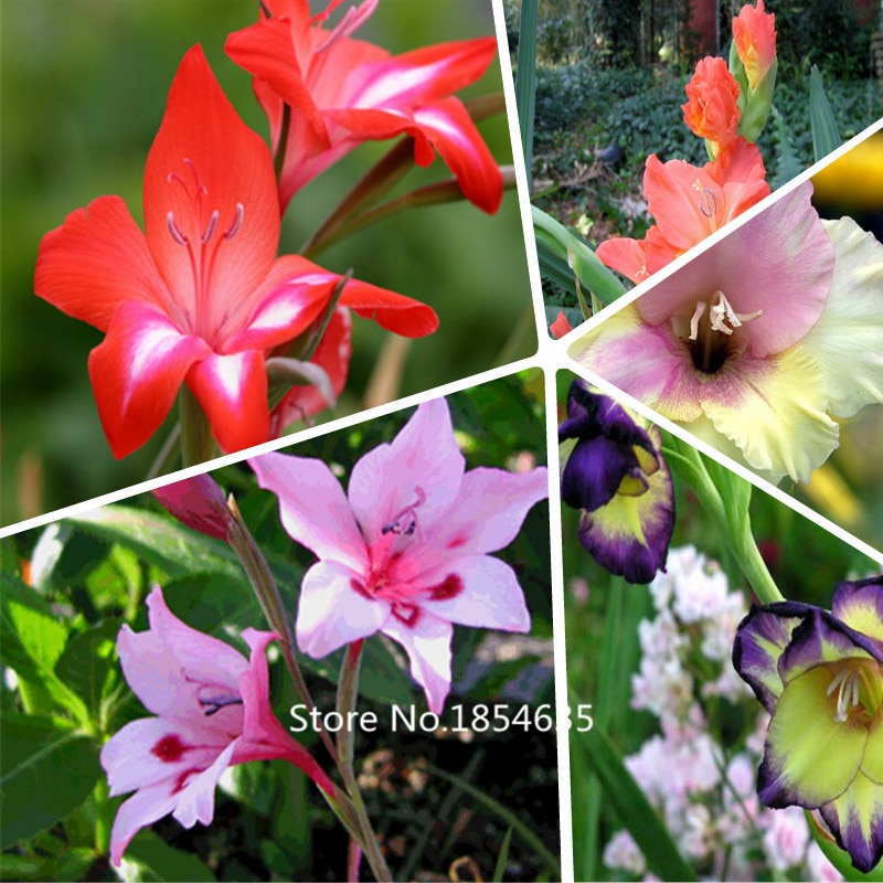 Different Perennial Gladiolus Flower Seeds, 1 Professional Pack,200 S