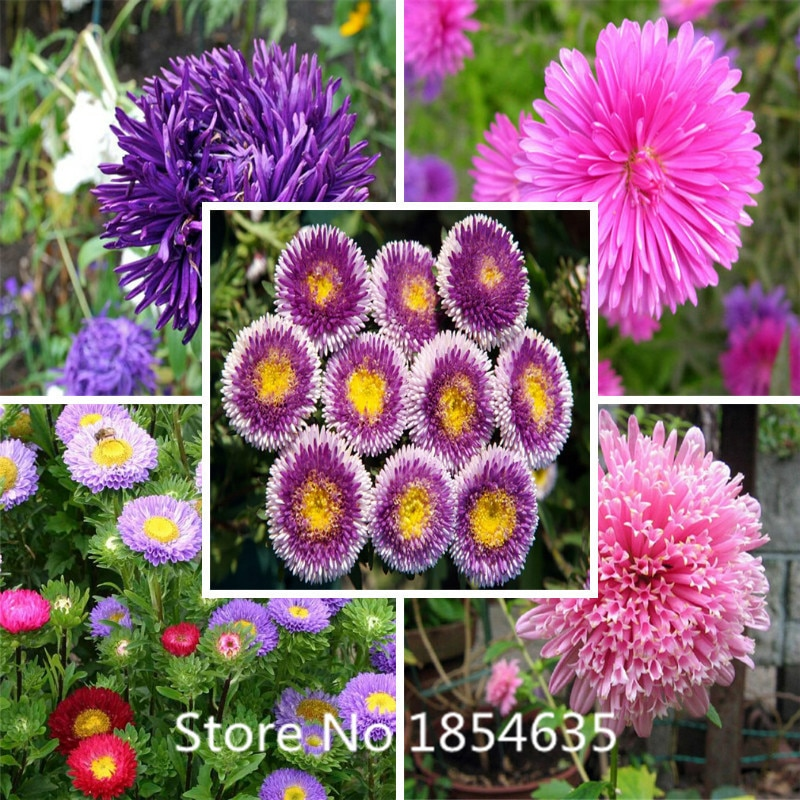100 pcs callistephus chinensis seeds Aster flowers seeds, balcony flo