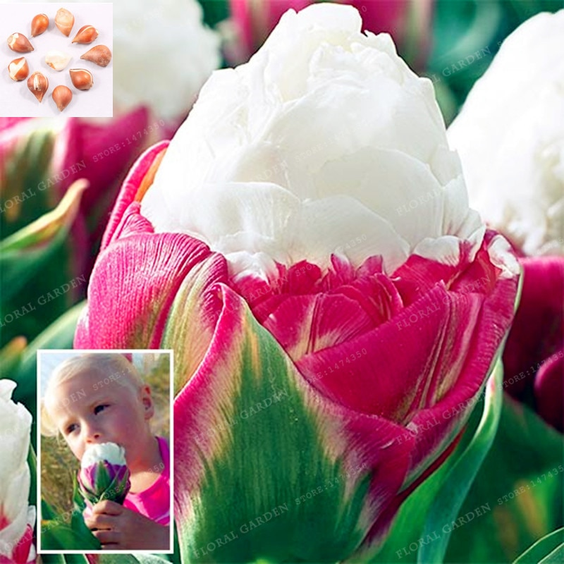 Bulbs,Tulip Flower,(Not Tulip Seeds),Flowers Symbolizes Love,Tulipa Ge