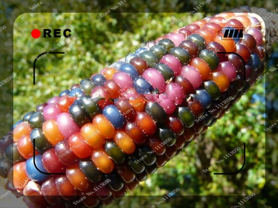seeds Glass Gem Corn Certified Organic Seeds,Rare Non GMO vegetable se