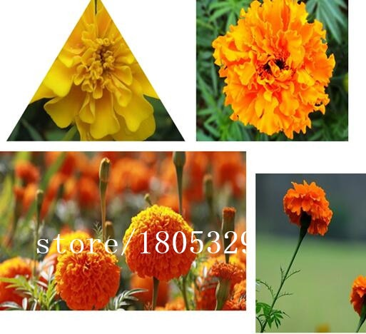 100seeds / pack, French Marigold Tagetes Patula Annual Flower Seeds