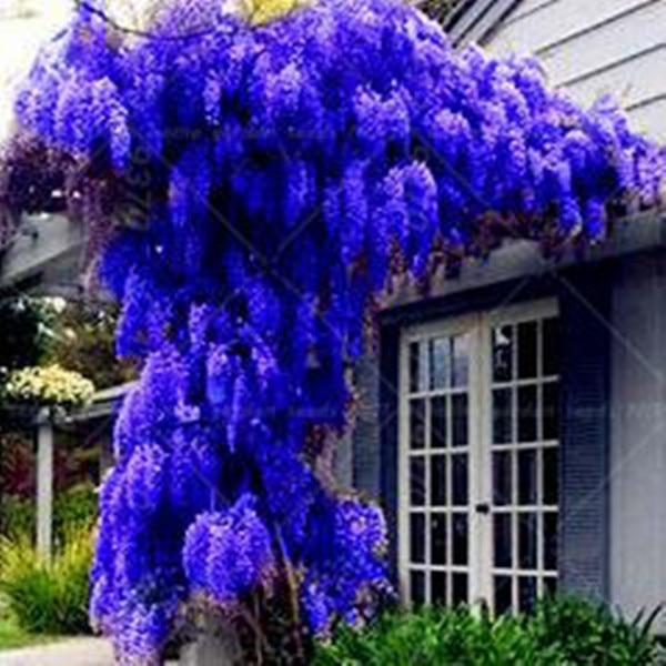 pack. HOT SALE NEW BLUE Wisteria Tree Seeds Indoor Ornamental Plants S