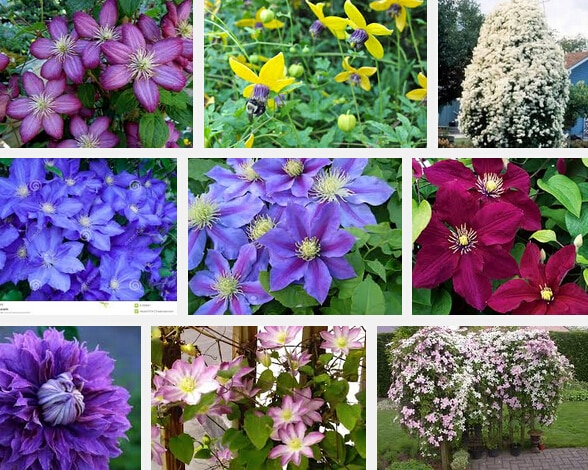 promotion today (200 pieces/lot) Vines, seeds flowers, clematis hybri