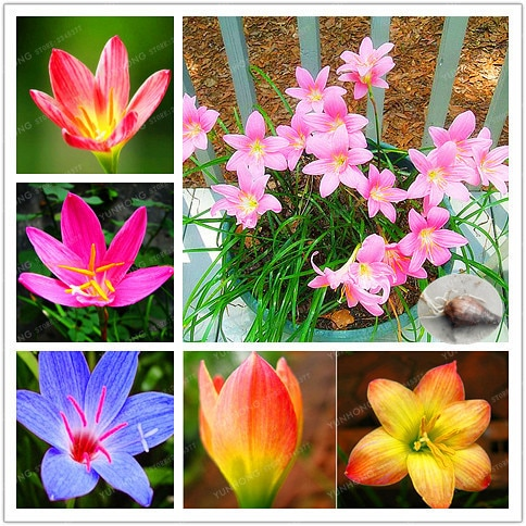 Zephyranthes Candida BulbsFlower Bulbs,Outdoor Plant,Natural Growth,B