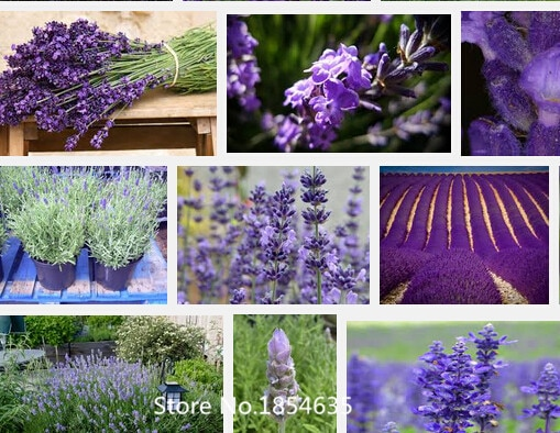 500pcs/bag lavender seeds flower seeds China Air mail free shipping Bo