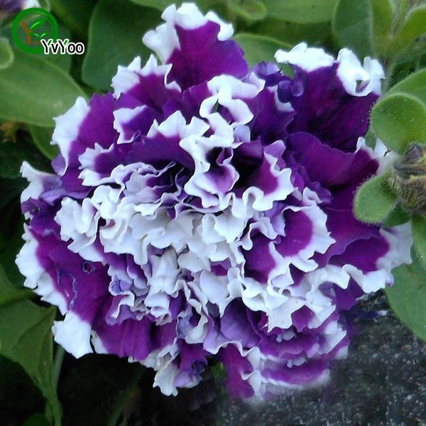 beautiful Flower Plant home garden flower plant  200 pcs   y011