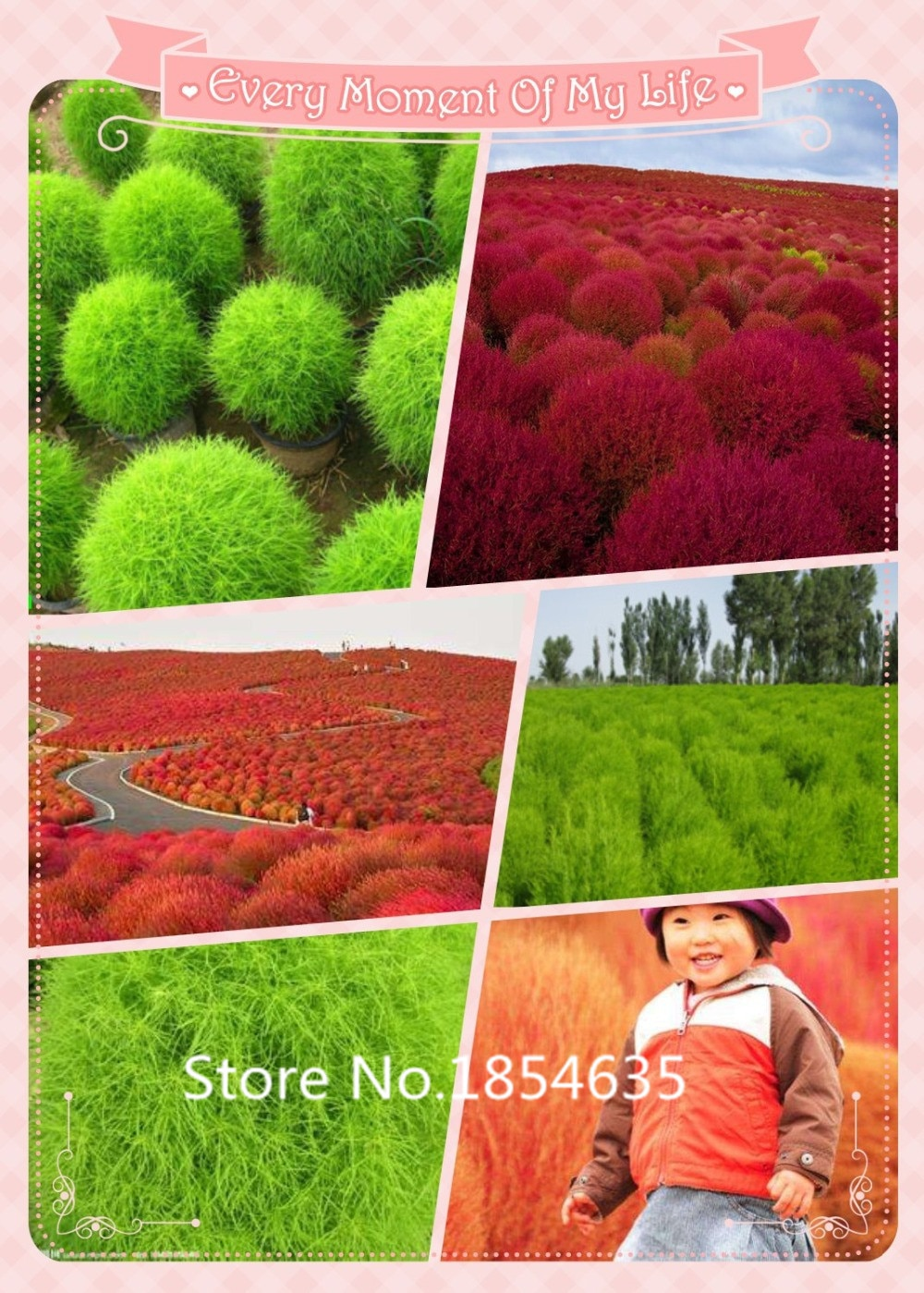 Free Shipping Bassia Scoparia  Seeds 500 Pieces Per Bag of grass Plan