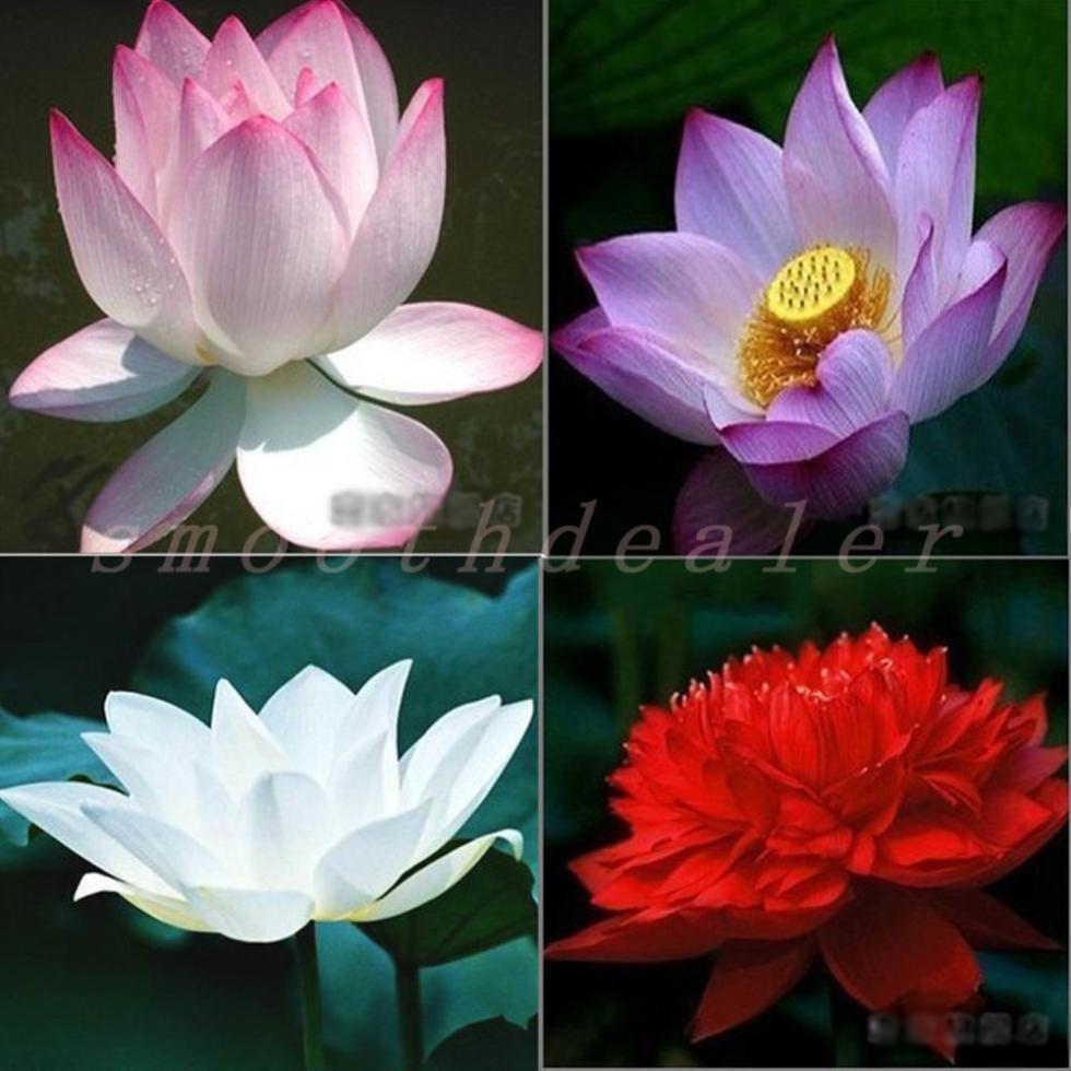 $1.11 Perennial Flowers Seeds Many colors lotus seeds Teach you plant