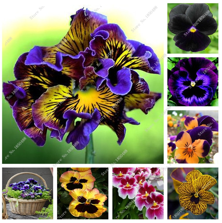 beautiful pansy seeds different Color wavy Viola Tricolor flower seed
