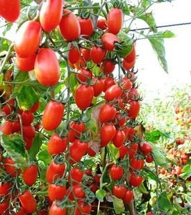 red pear tomato seeds vegetable seeds for DIY home garden