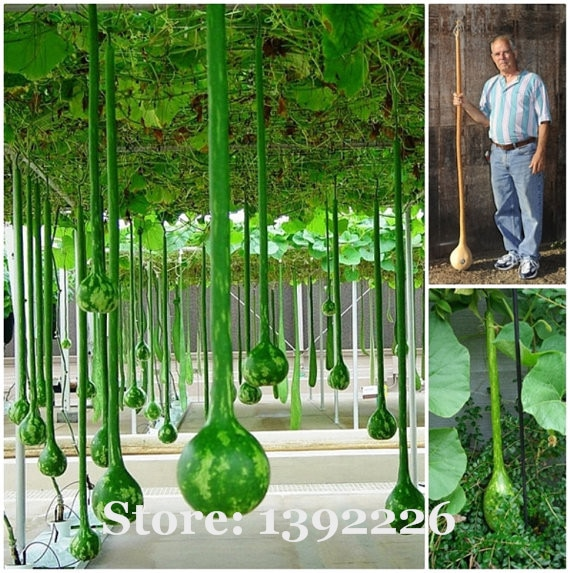 Long melon seeds, use as a container,bottles, or musical instruments,