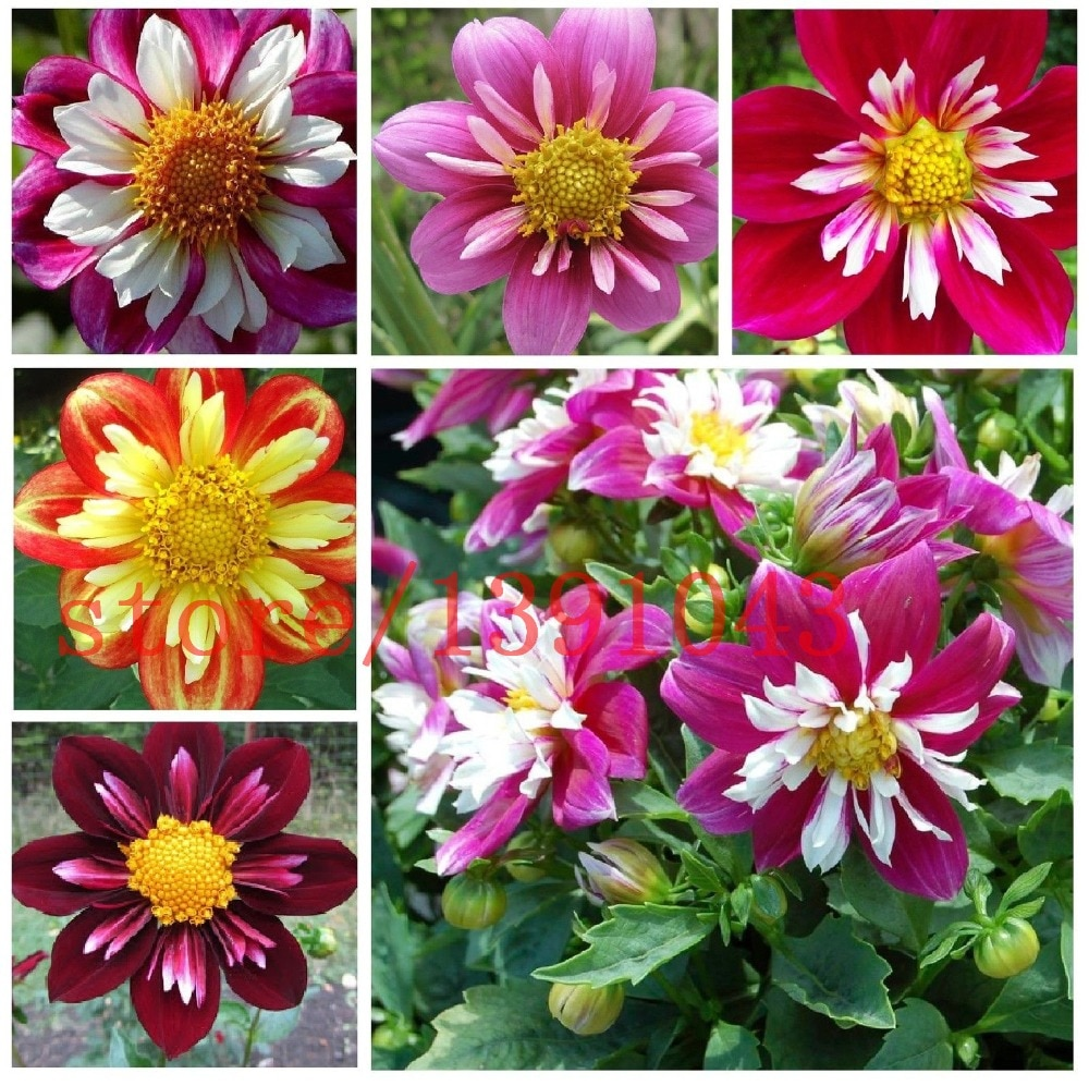 dahlia flower seeds mixed colors rainbow flower seeds for flower pot