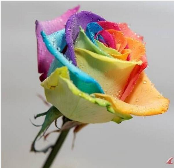 Mix  Beautiful Flower Rainbow rose seed Rose Seeds