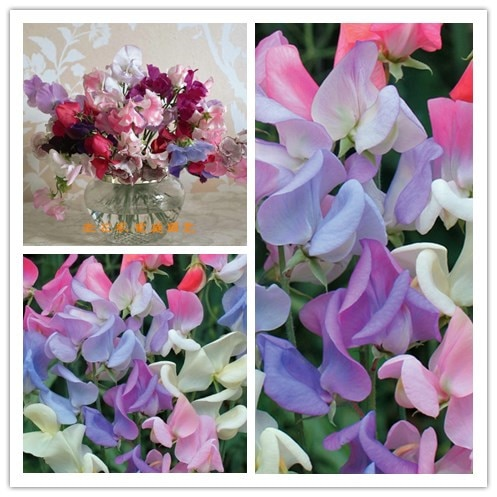 5 pcs/ bag Sweet Pea(Lathyrus Odoratus ) seed beautiful flower bonsai