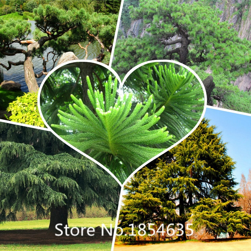 200 pcs larch seed bonsai Larix gmelinii seeds ornamental flowers pin