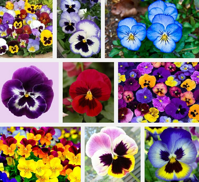Pansy Seed 200 Flowers Seeds Pansy Colorful Yellow Blue Red Colors Br