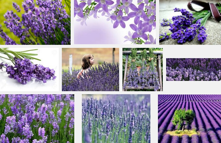 200 Big discount quality lavender flower seeds, very easy flower pots