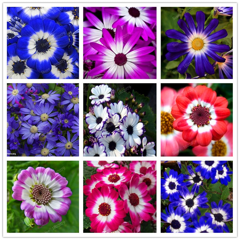 Beautiful Florists cineraria Seed Flower Pot Flower Bonsai DIY best D