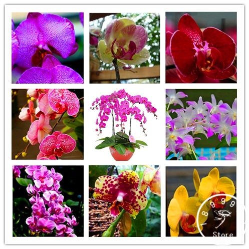 !!!! 50pcs phalaenopsis orchid seeds butterfly orchid seeds beautiful
