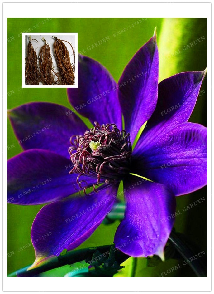 Clematis Bulbs,Clematis Flower,(Not Clematis Seeds),Outdoor Plant,Nat