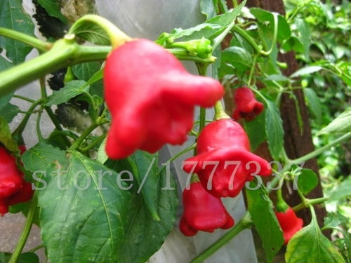 100 Campanula sweet pepper seeds, vegetable seeds, sweet pepper seeds,