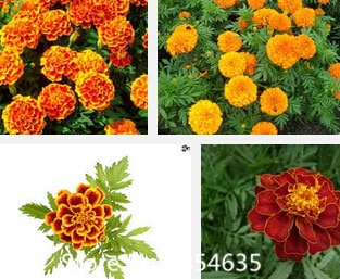 marigold, potted flower seeds free shipping,about 100 particles Bonsa