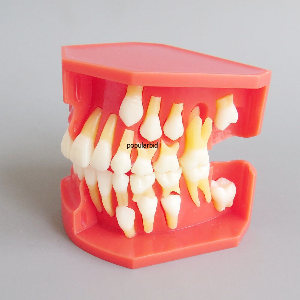 #4006 01 - Teeth Eruption Development Model