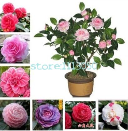 Seeds,camellia Japonica,potted Plants, Planting Seasons, Flowering Pla