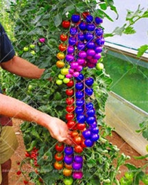 Rainbow dwarf tomato, rare tomato seeds, bonsai organic vegetable & fr
