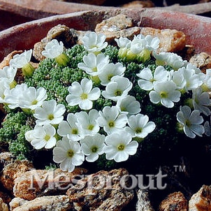 Rare Androsace Seeds home garden petal flower seeds bonsai pots plant