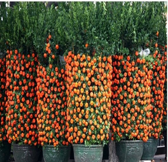 orange seeds mini bonsai fruit draft orange seeds NO-GMO  rare Winter