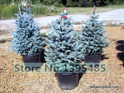 Blue Spruce  Tree seeds Home Garden Plant Evergreen Colorado Blue Spr