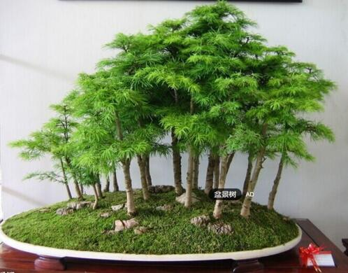 bonsai tree Seeds potted flowers office bonsai purify the air absorb h