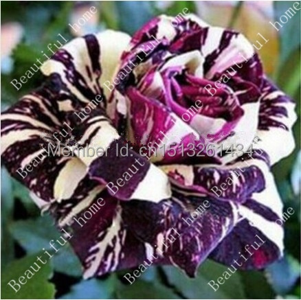 50 Black Dragon Rose Seeds ,beautiful stripe rose bush plant ,DIY Hom