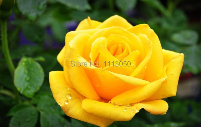 100pcs Seeds China Rare Yellow Rose seeds Rose Flower seeds