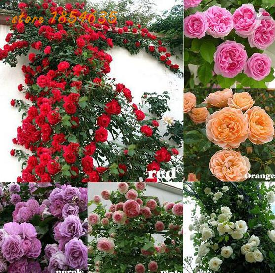Creepers Flowers-seed Rosa,polyantha Rose,climbing Roses Seeds For Hom