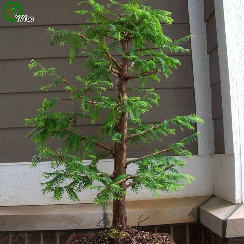 Bonsai Tree  Seeds Very Beautiful Indoor Tree Home Garden plant   30